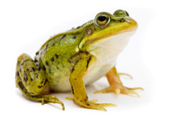 Frogs are not small crocodiles – and small firms are not little big companies…