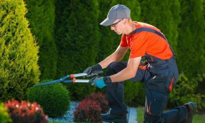 Man on one knee cutting small bush with hedge shears