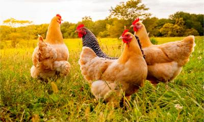 Free-range chickens on a poultry farm
