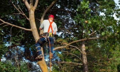 Tree surgeon up a tree removing branches
